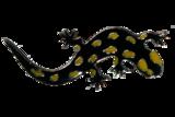 Speldje vuursalamander_